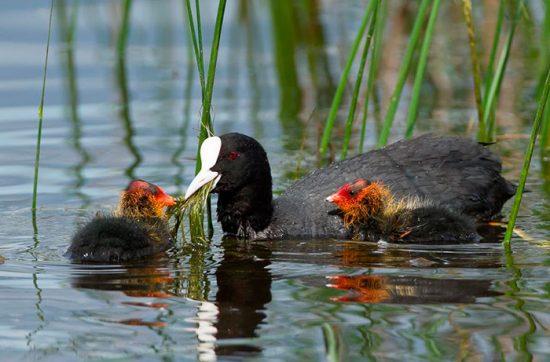 лысуха с птенцами
