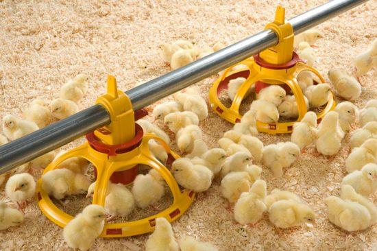 цыплята в птичнике