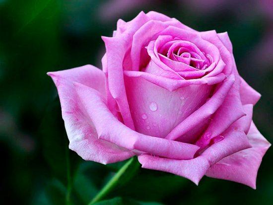 роза лилового цвета