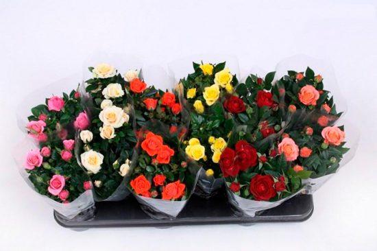 розы на домашнем подоконнике