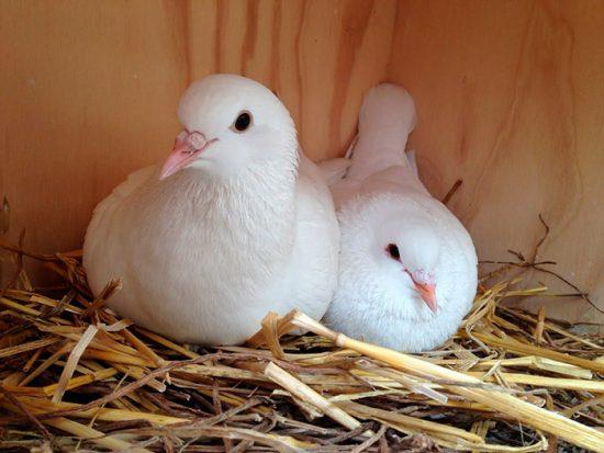 голубь в гнезде