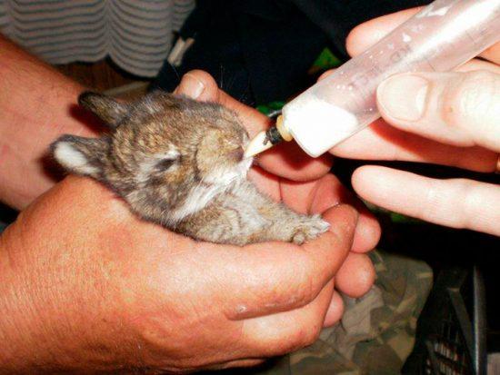 лечение маленького кролика