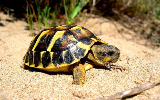 песчаная черепаха
