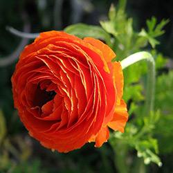 Какие цветы похожи на розу