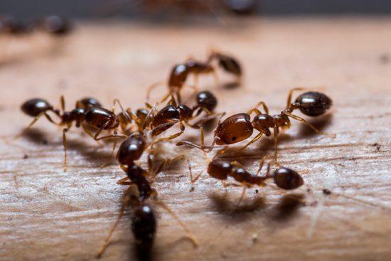 муравьи в доме