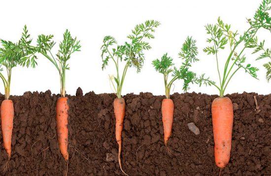 выращивание морковки