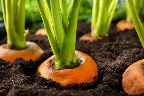 выращивание корнеплодов
