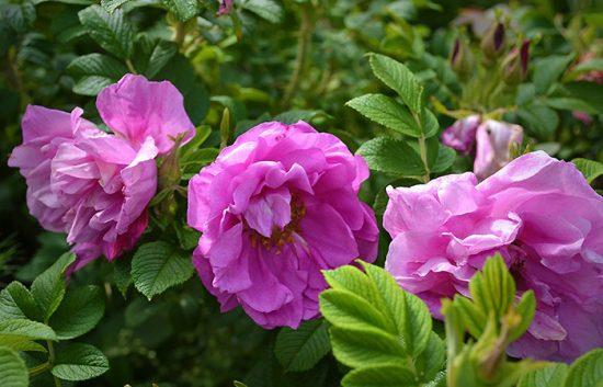 виды розовых кустов