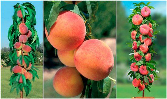 как выглядит колоновидный персик