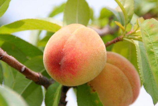 выращивание персика
