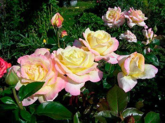 розы необычной окраски