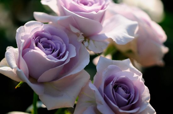 розы лиловые