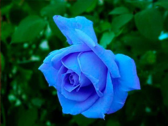 крашеная роза