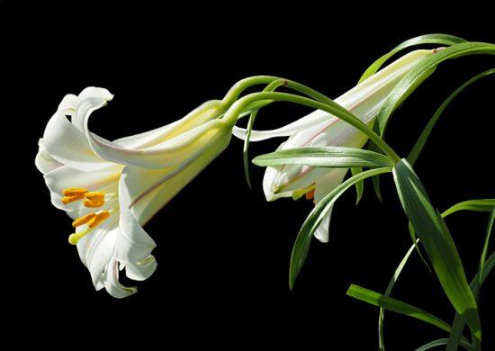 длинноцветковая лилия