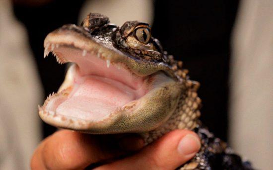 как кормить крокодила