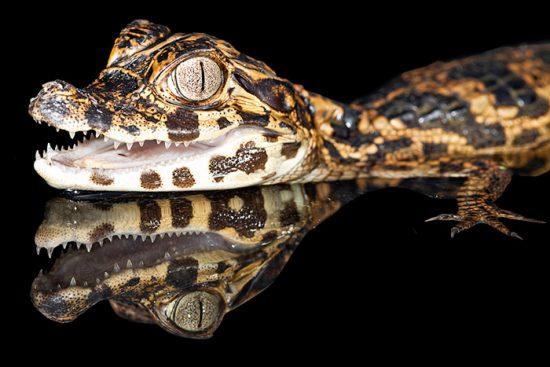 домашняя рептилия