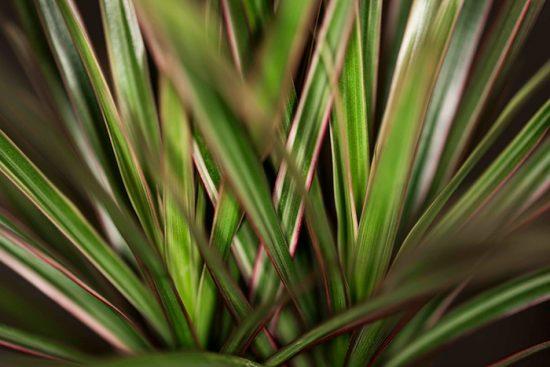листья драцены