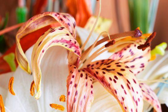 увядшая лилия