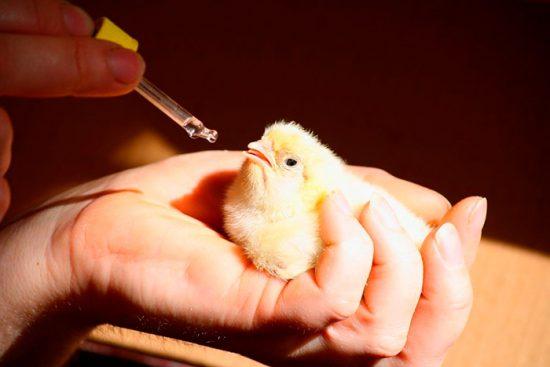 как дать лекарство птице