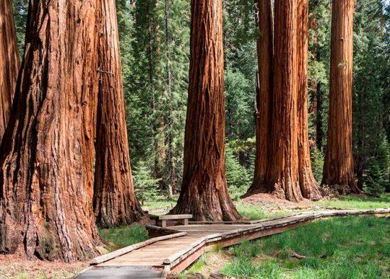 огромные деревья