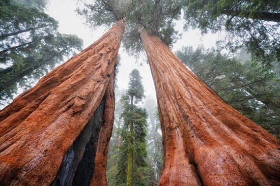 уникальные деревья