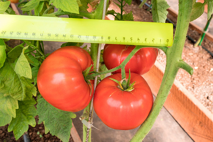 крупные томаты на кусте