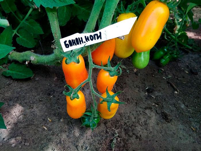 популярный сорт томатов
