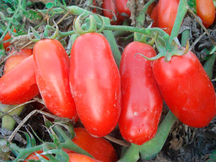 томат для холодного региона
