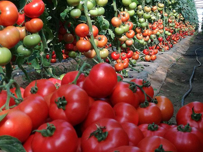 красноплодные томаты