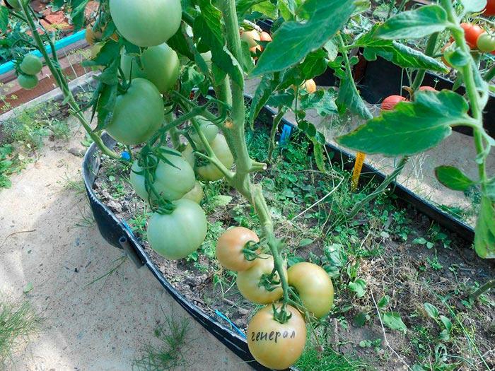 японский сорт томатов