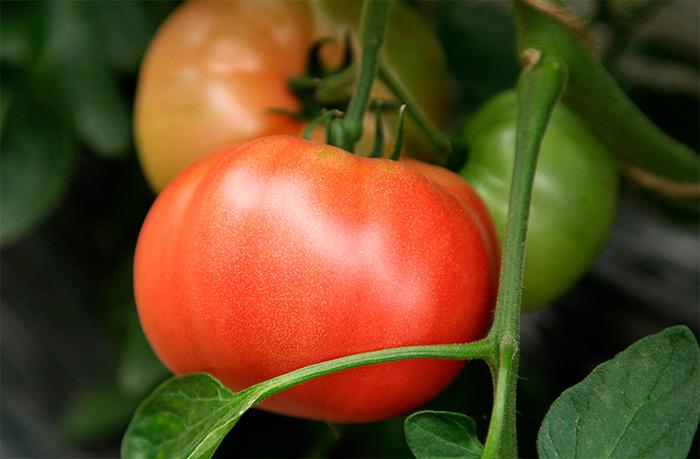 помидоры красные