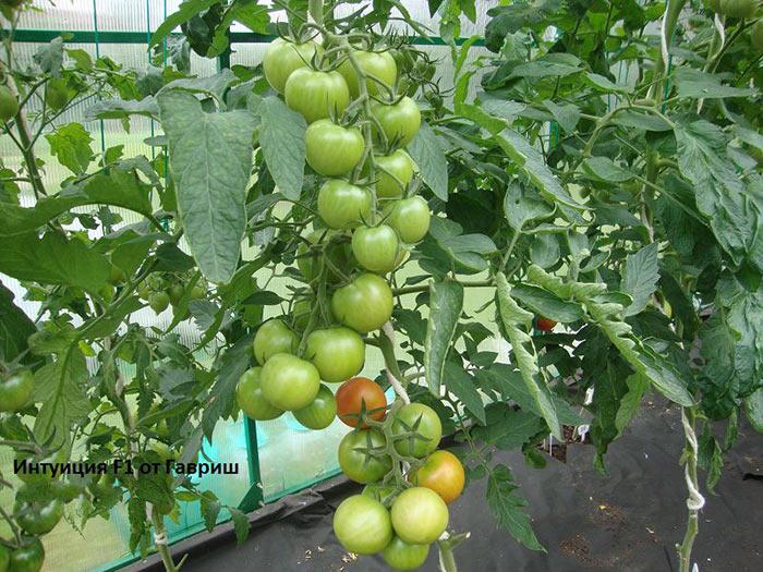 кисти томатов