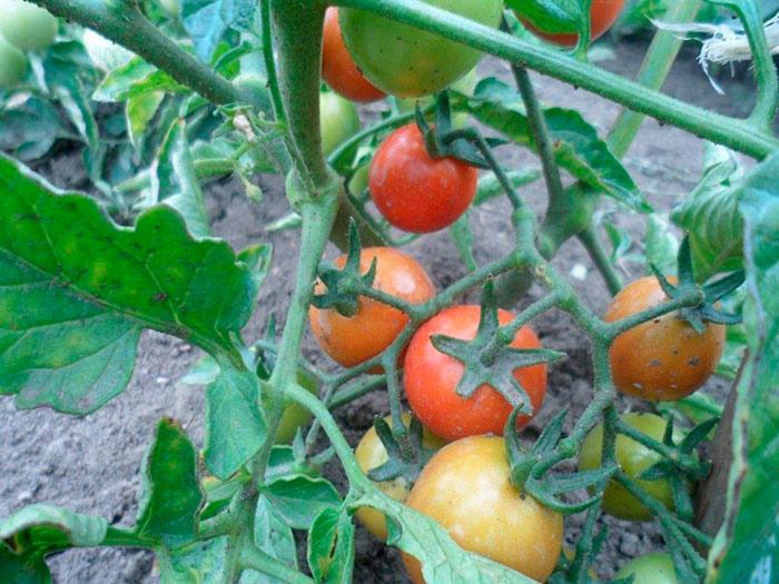 кустик томатов