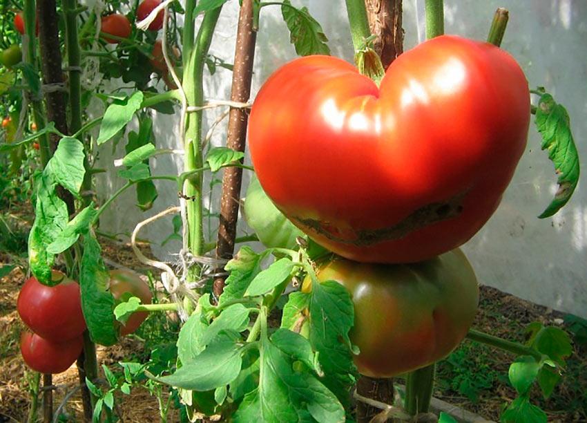 Сорт томата Райское Наслаждение