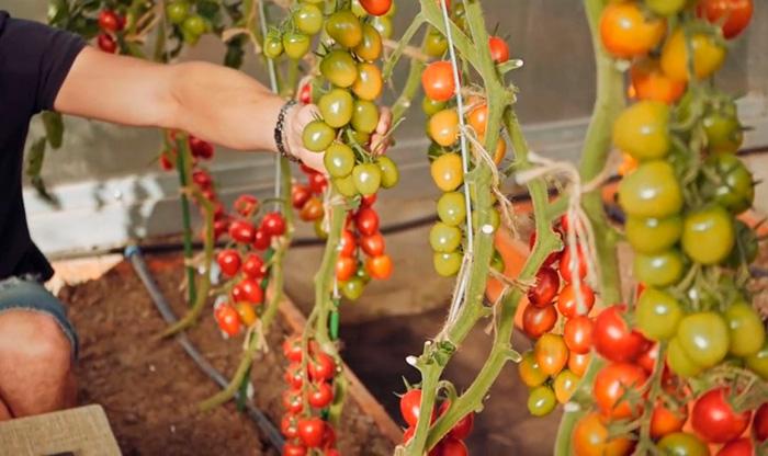 кусты помидоров черри