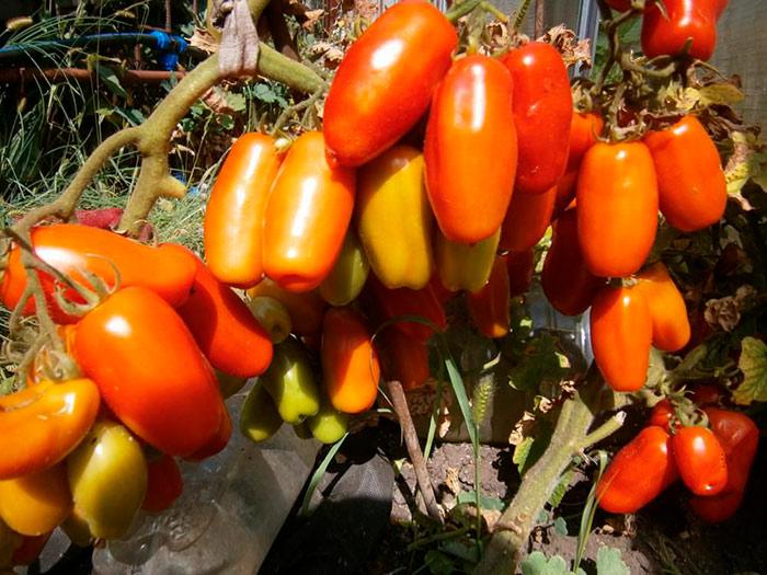 овальные томаты