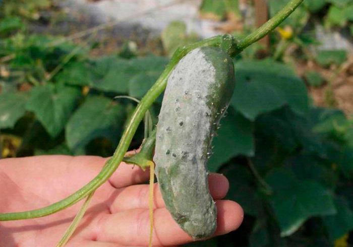 гниль на овощах