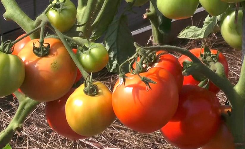 мирное время томат заволжский отзывы фото многие хотят
