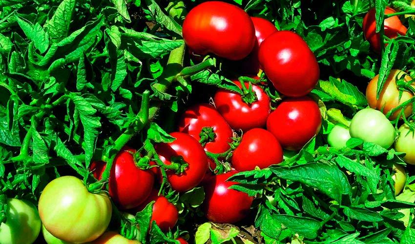 Описание сорта томатов Импала и их характеристики