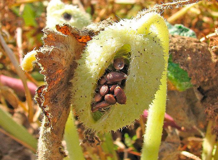 растение бешеный огурец