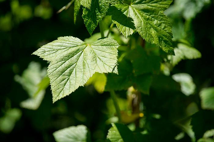 использование листьев смородины