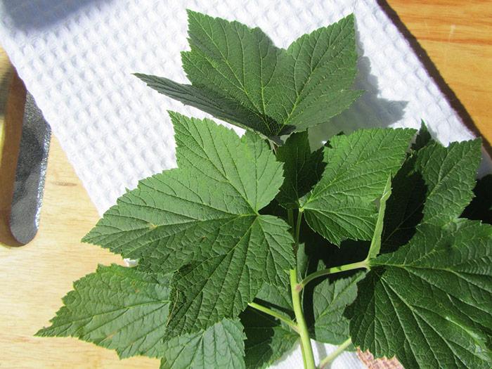 молодые листья черной смородины