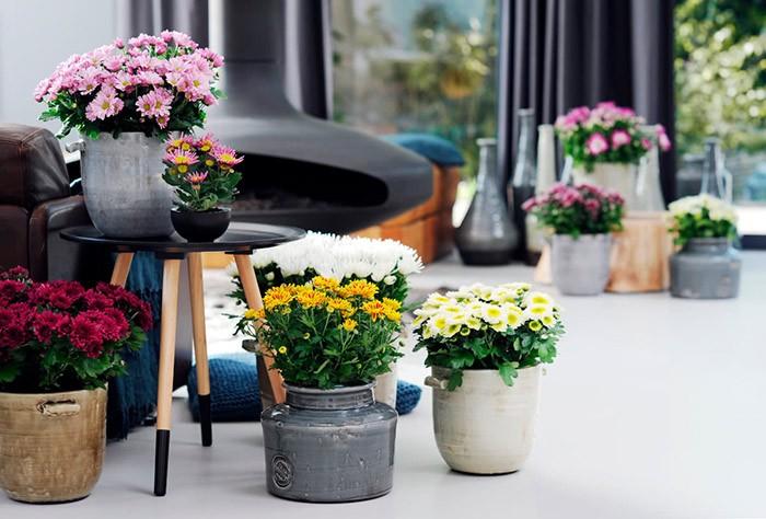 хризантема в комнате