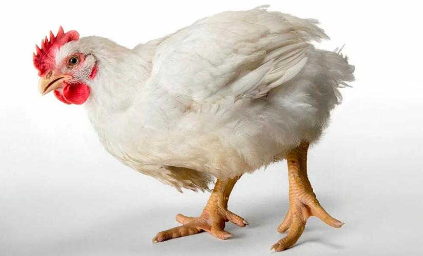 Почему Кобб 500 — бройлеры с высокой рентабельностью. Описание и отзывы, особенности содержания цыплят