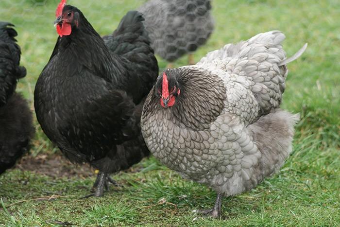 черные и серые куры орпингтон