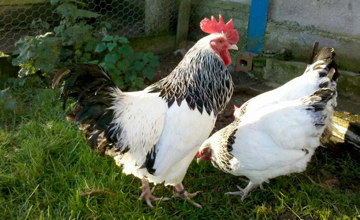 петух и курица Суссекс