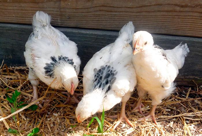 цыплята суссекс