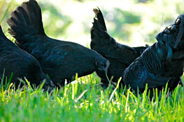 необычные черные куры