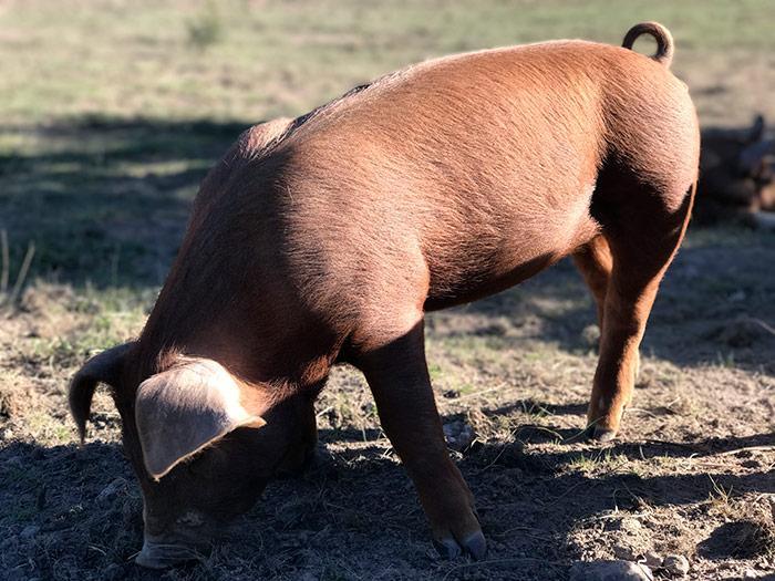 как содержать свиней дюрок