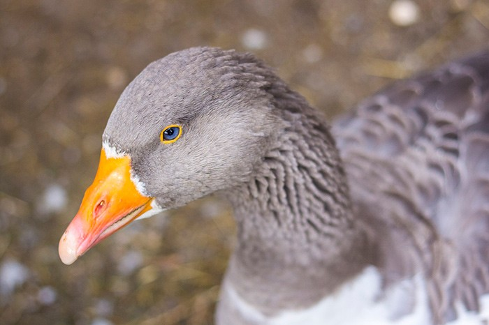 порода серые гуси